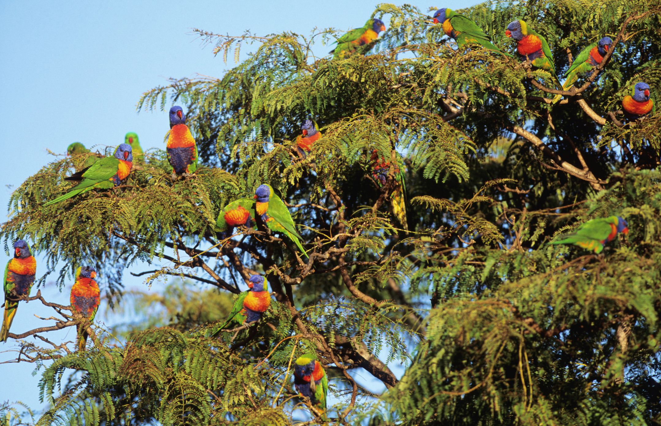 A flock of rainbow lorikeets perched on a tree