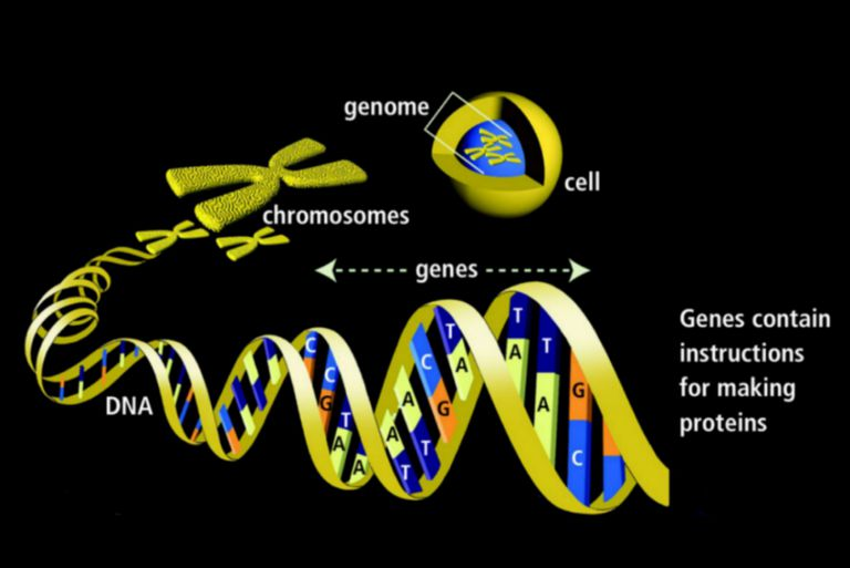 genes - definition, function, and mutations
