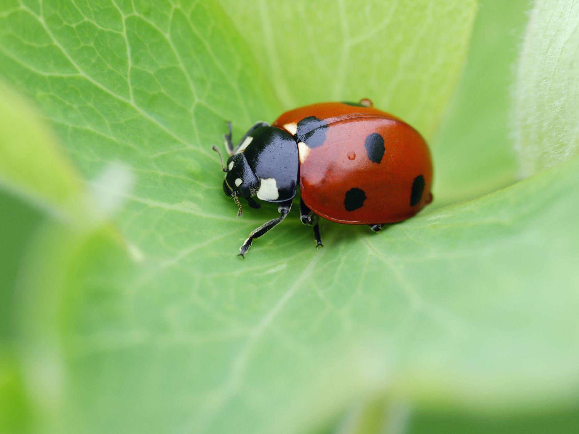 Ladybugs, Family Coccinellidae