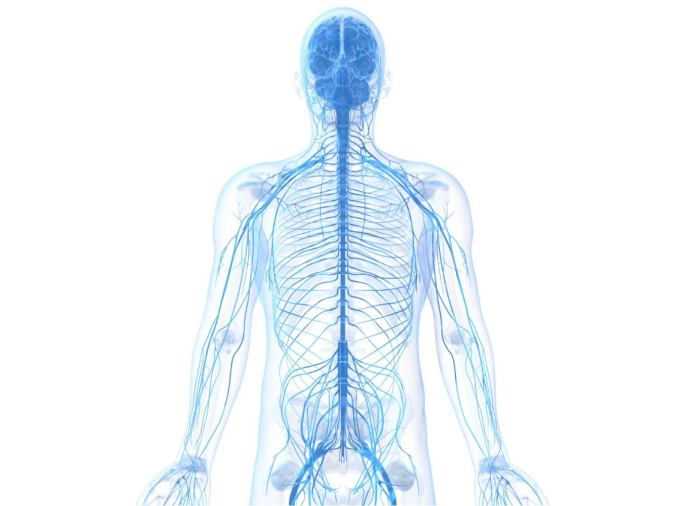 Learn About the Peripheral Nervous SystemThoughtCo