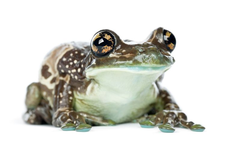 Amazon Milk Frog Facts