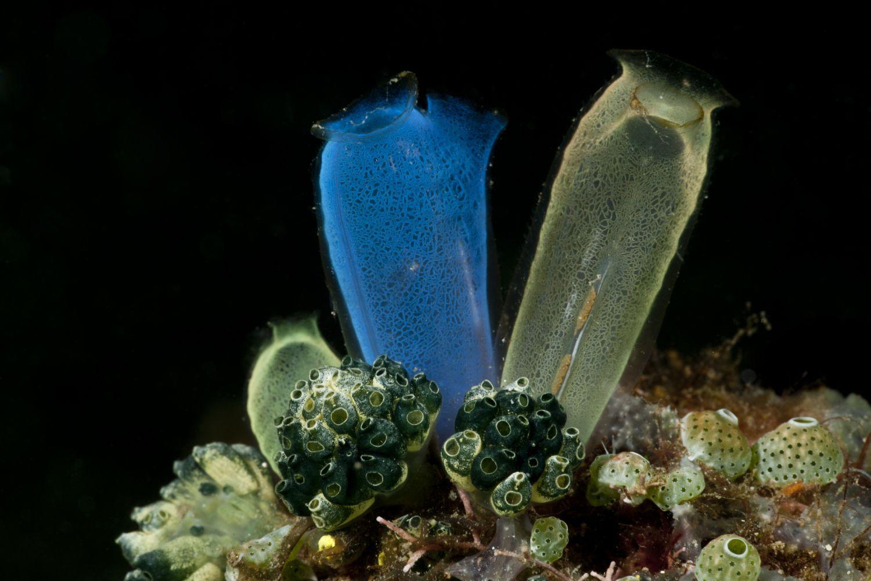 Jurgen Blue Club Tunicates / Sea Squirts