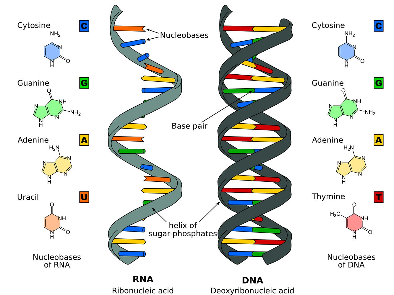 9e6f919e7 The Differences Between DNA and RNA