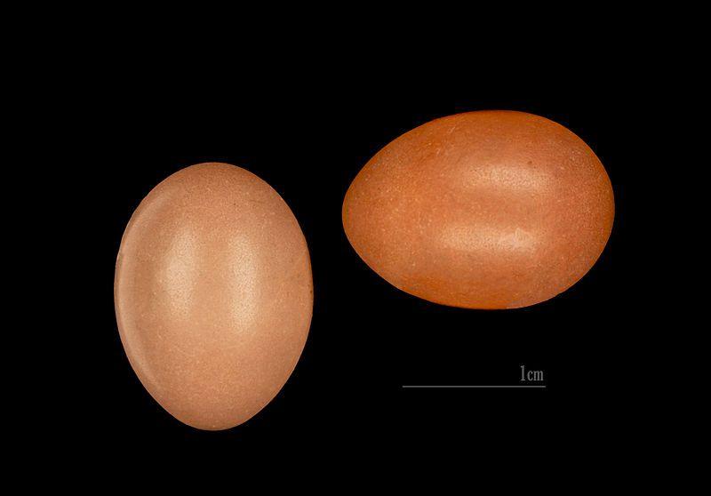 Cetti Warbler Eggs