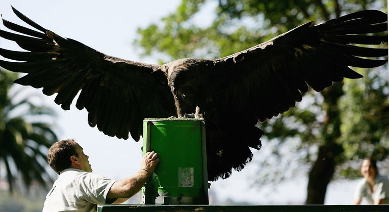 A juvenile condor receives flying lessons at the Sydney Zoo