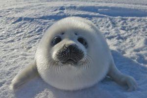 Seal Pup, Canada