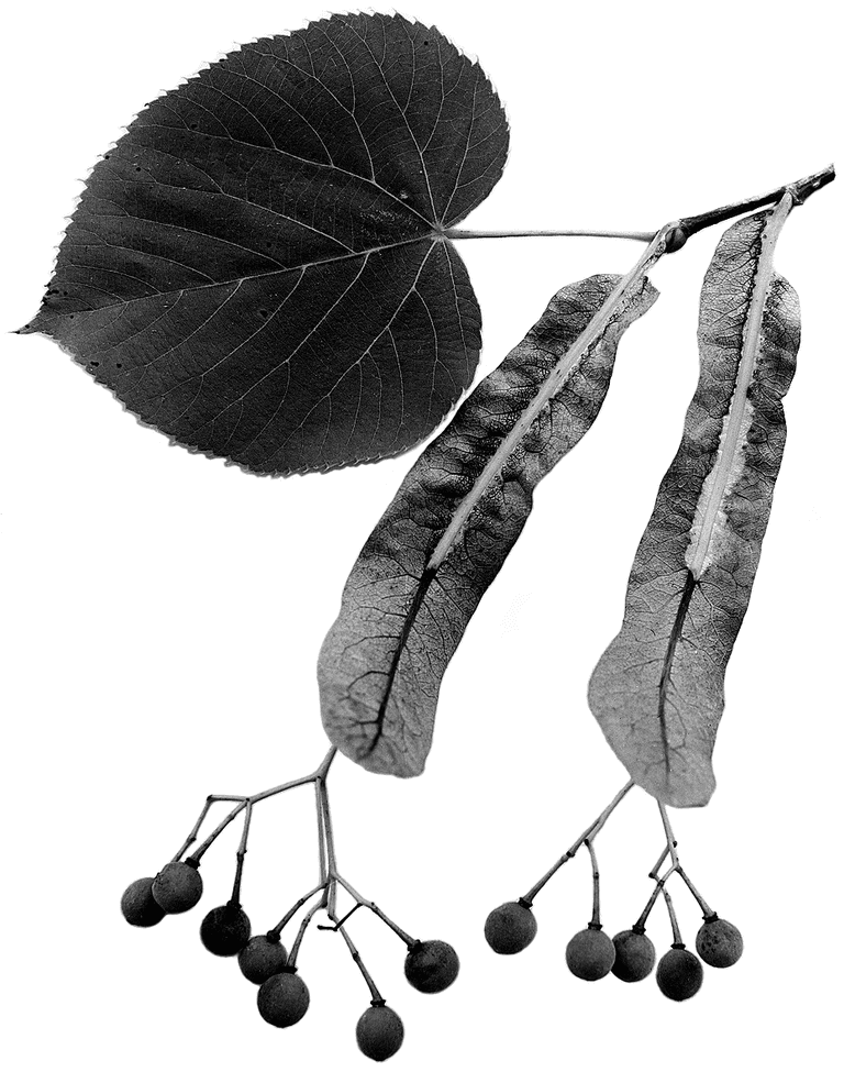 American Basswood Leaves And Fruit