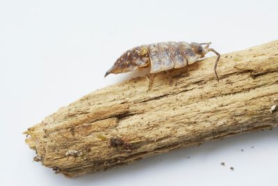 15 Fascinating Facts About Pill Bugs