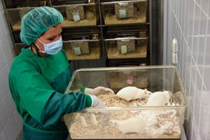 Lab assistant checking on albino rats for animal experiments