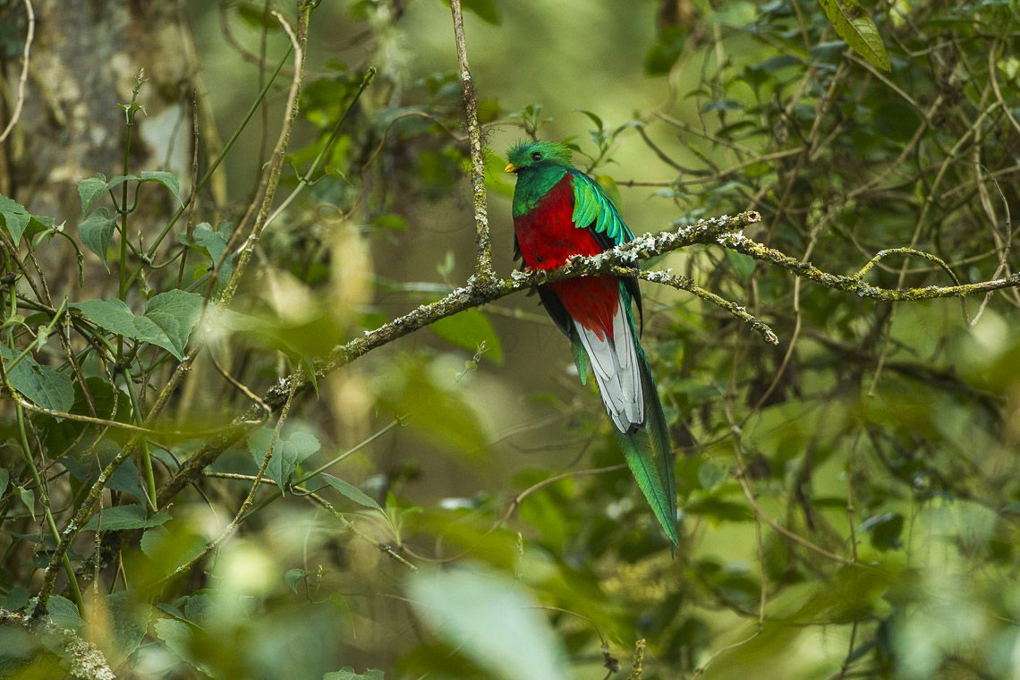 Quetzal bird perched on a brand surrounded by leaves.