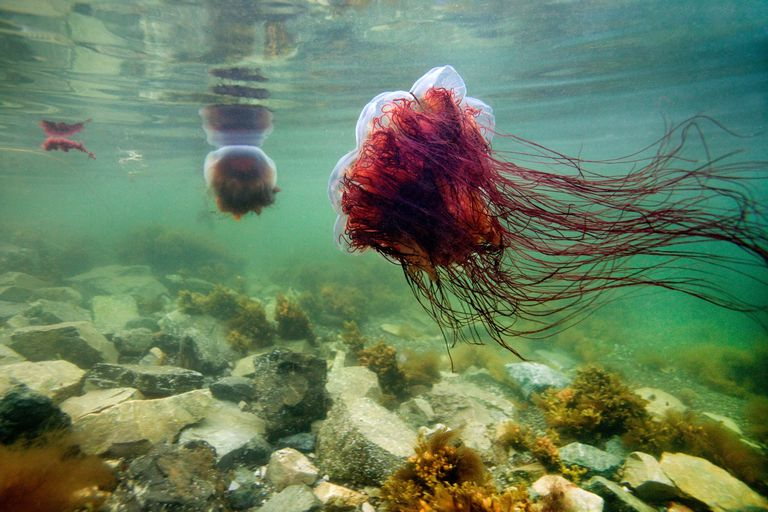 Lion's Mane Jellyfish / James R.D. Scott/Getty Images