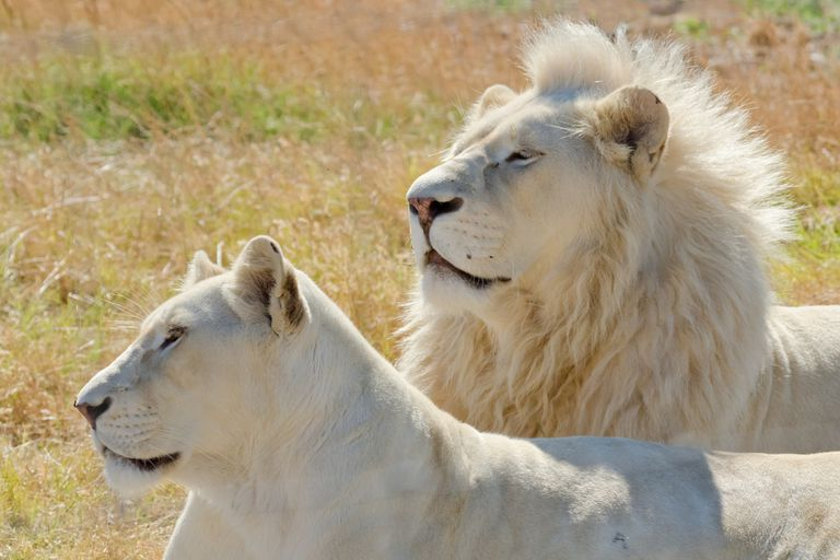 Male and female white African Lions (Panthera leo)
