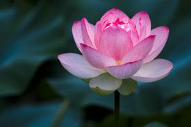 A pink lotus flower in a field of dark green leaves