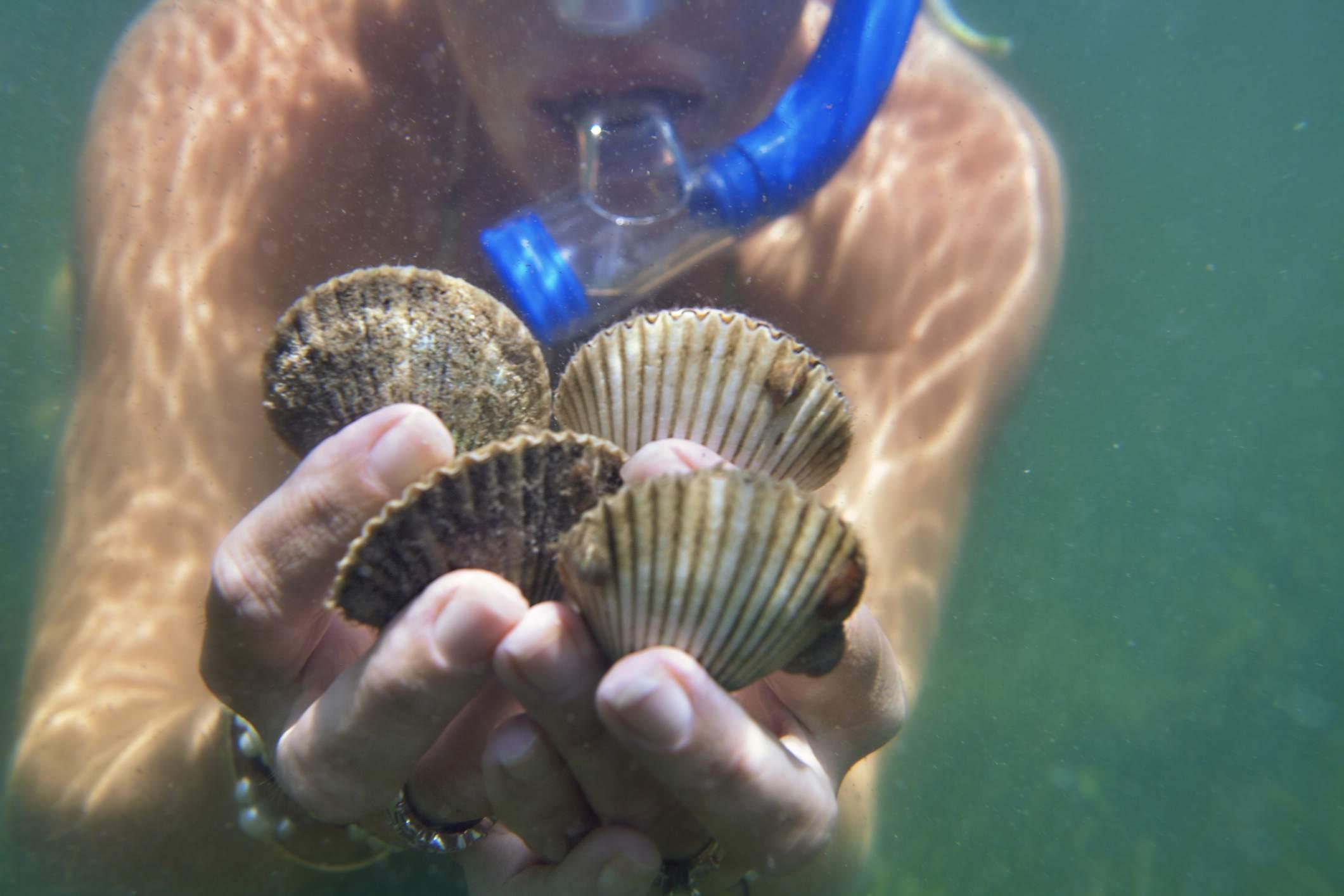 Underwater close up of female scuba divers hands holding live scallops, Port St Joe, Florida, USA