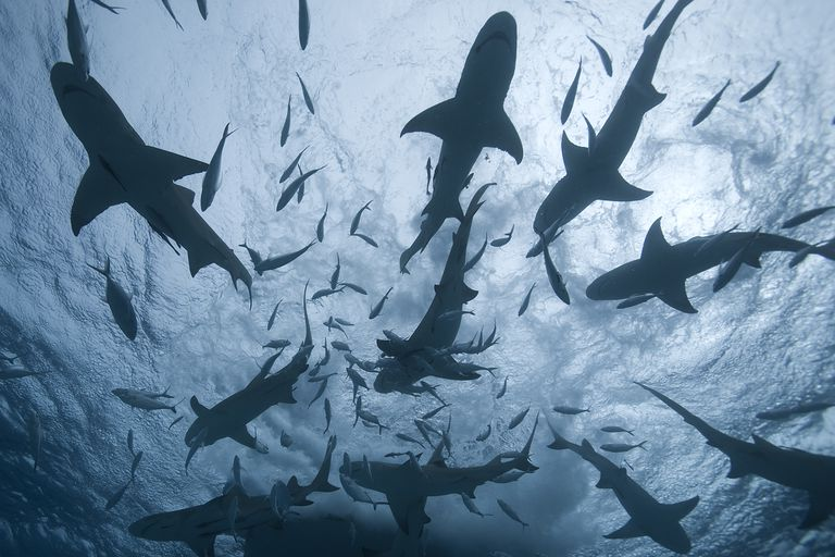 A shark feeding frenzy.
