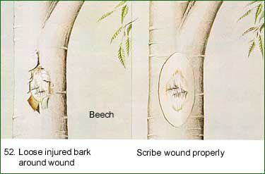 tree trunk wound scribe