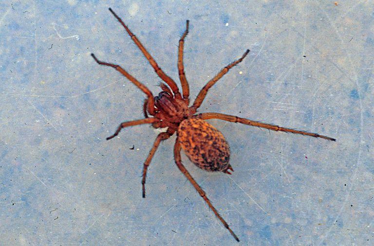 Hobo spider.