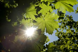 Chlorophyll in plant leaves converts carbon dioxide and water into the products glucose and oxygen.