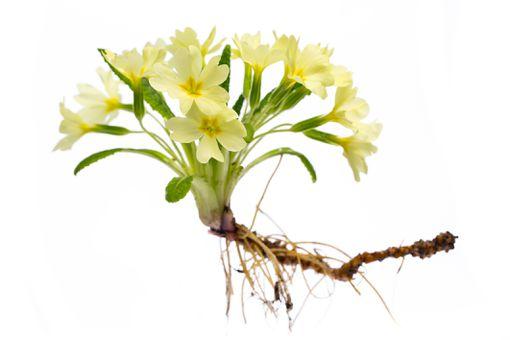 Flowering primrose plant