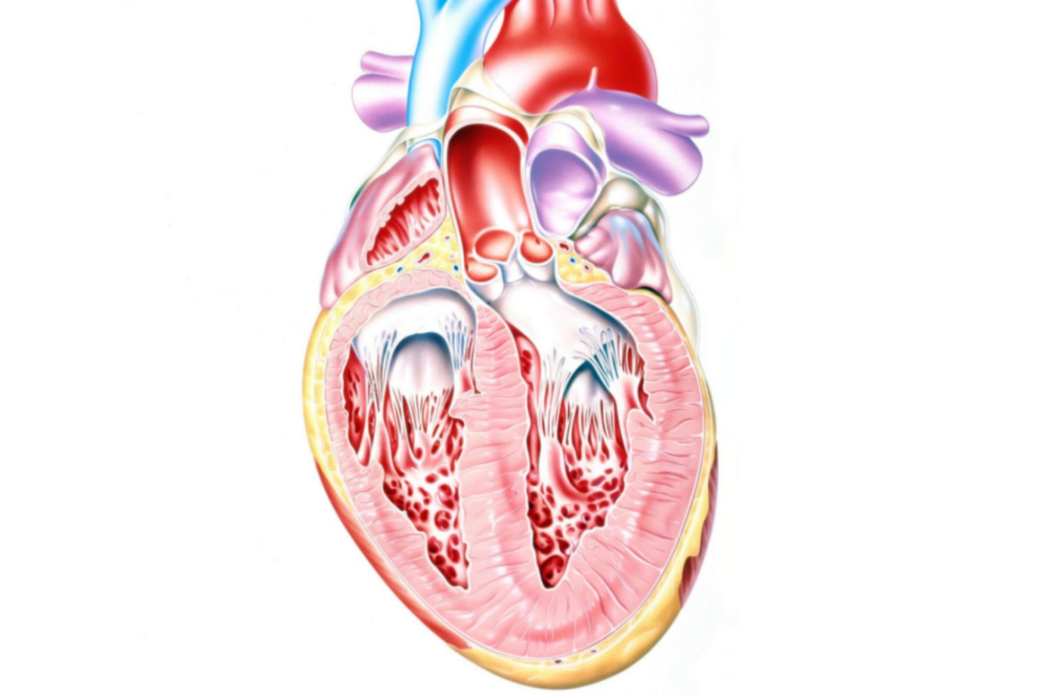 The Function Of The Heart Ventricles