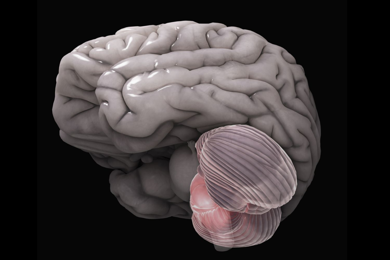 Anatomy of the Brain: Cerebellum Function
