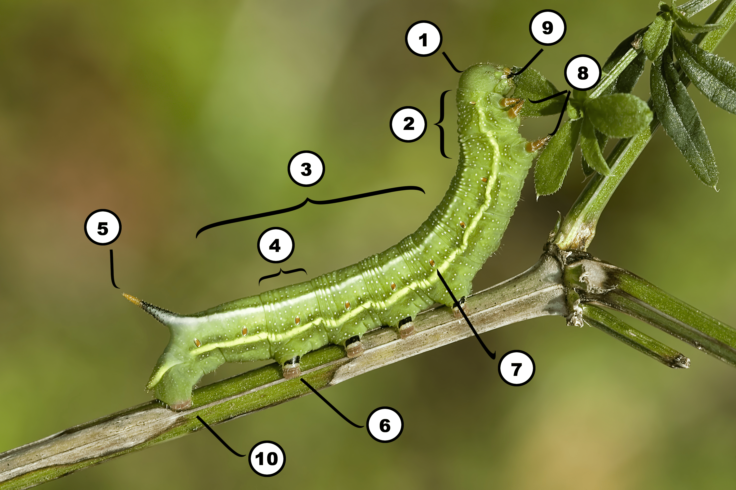 Insect Anatomy  The Parts Of A Caterpillar