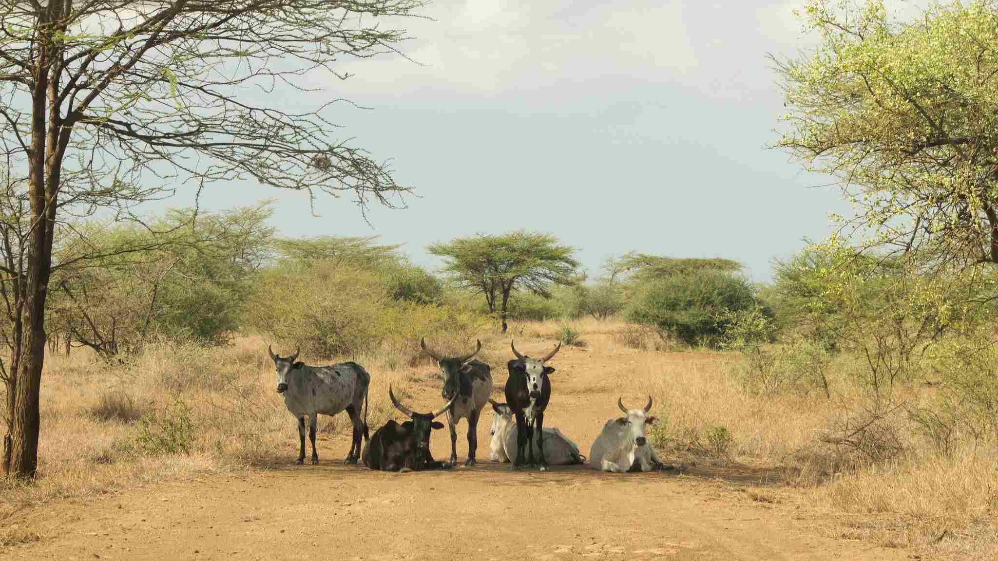 Zebu στο Awash Park, Afar, Αιθιοπία