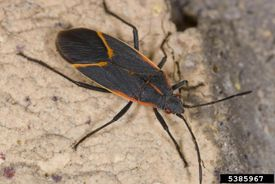 The boxelder bug, a typical true bug
