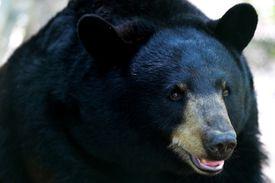 Close-Up Of Black Bear