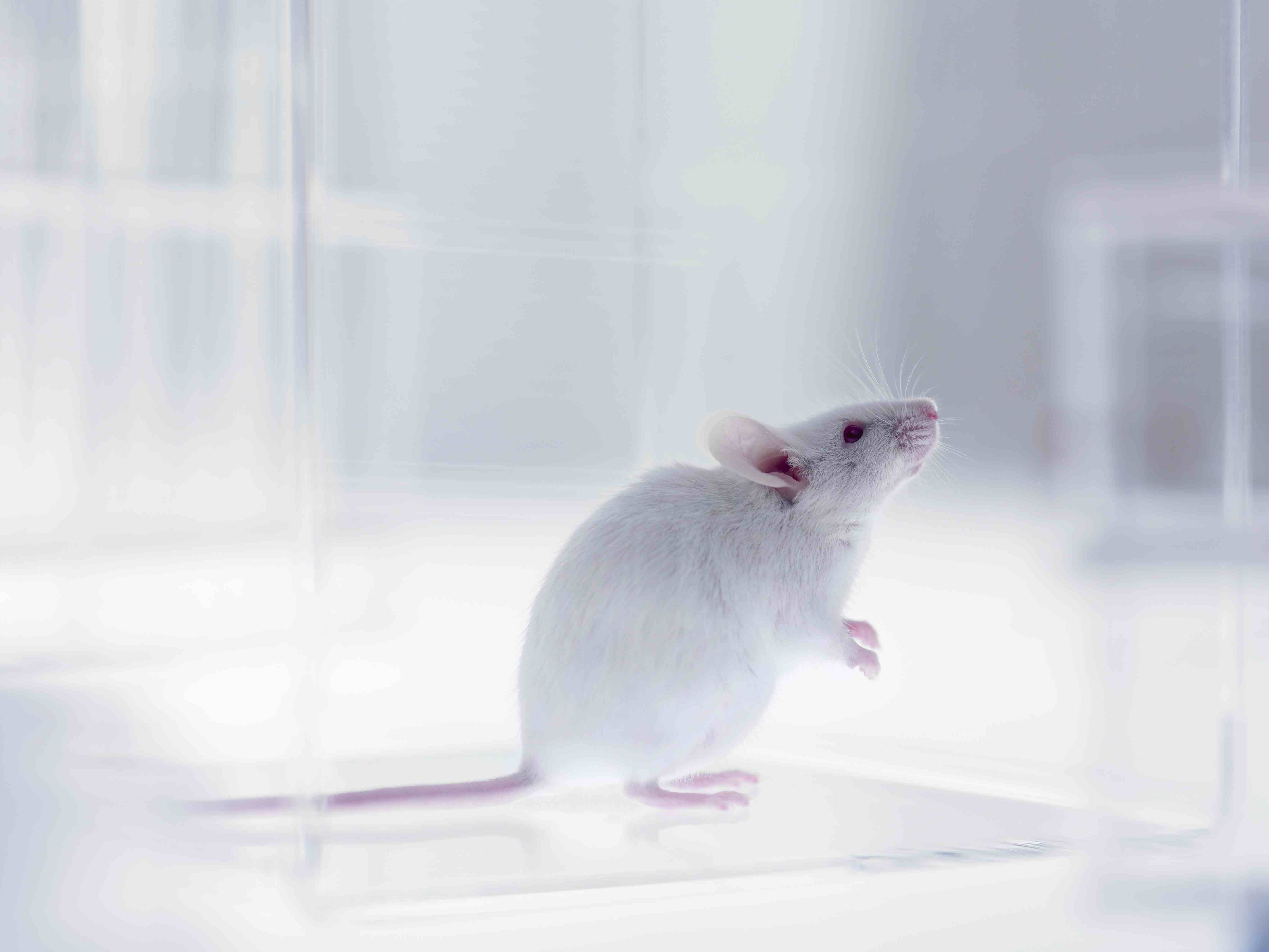 lab mouse pictures - HD1200×800