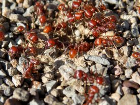 A closeup image of an army of ants.