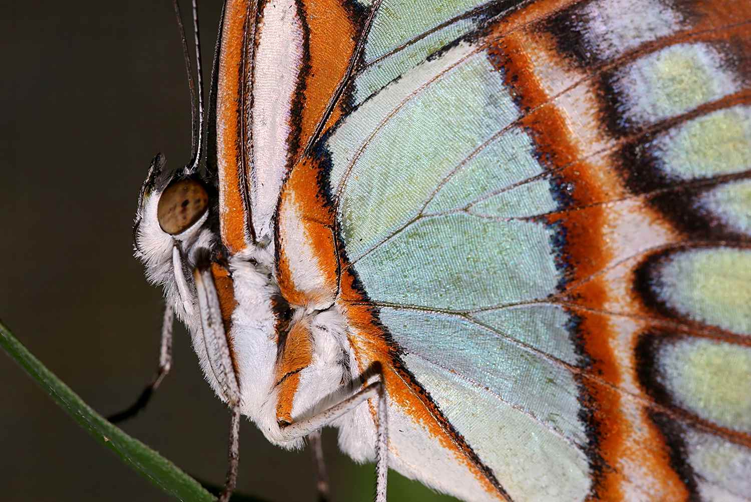 Malachite Butterfly Extreme Close Up