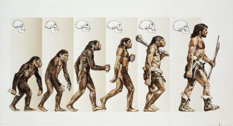 Illustration depicting the macroevolution of hominids.