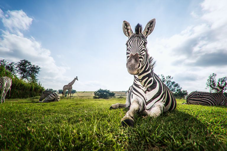 A close up image of a zebra relaxing, lying on the grass, while others in his herd graze in the background. Gauteng South Africa