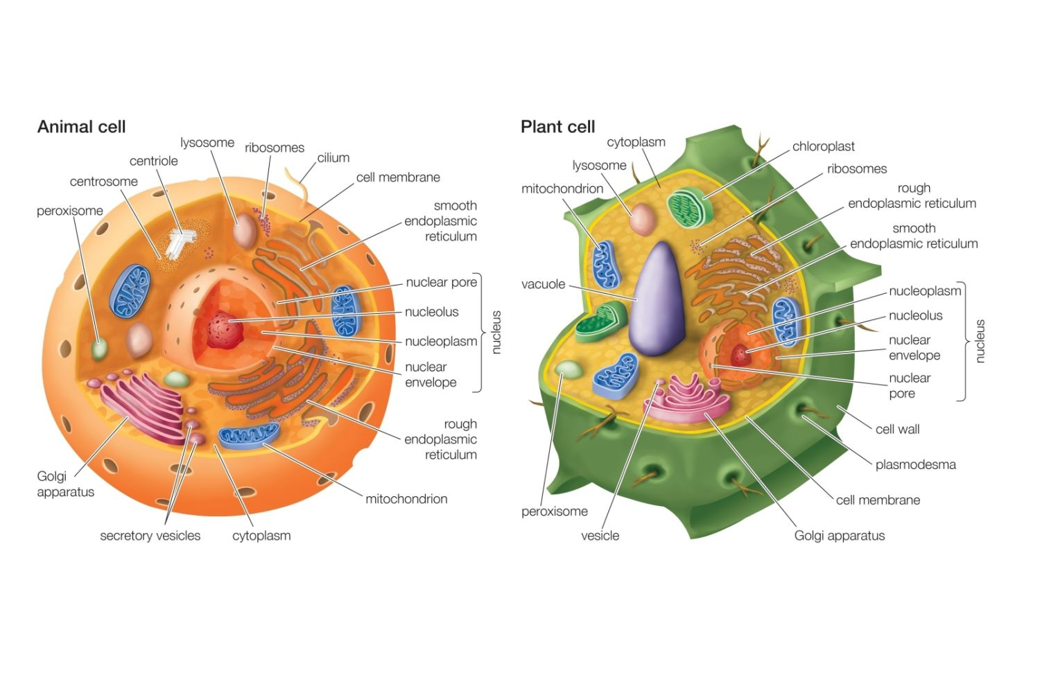 Essential differences between animal and plant cells ccuart Images