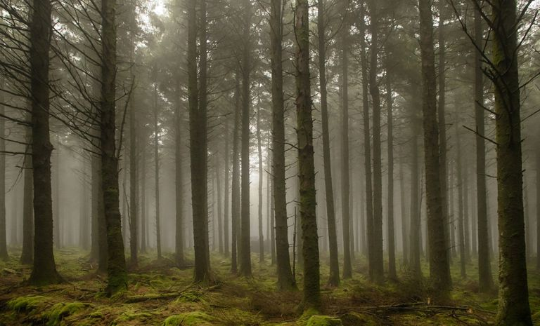 Wide-shot-of-trees-in-foggy-forest