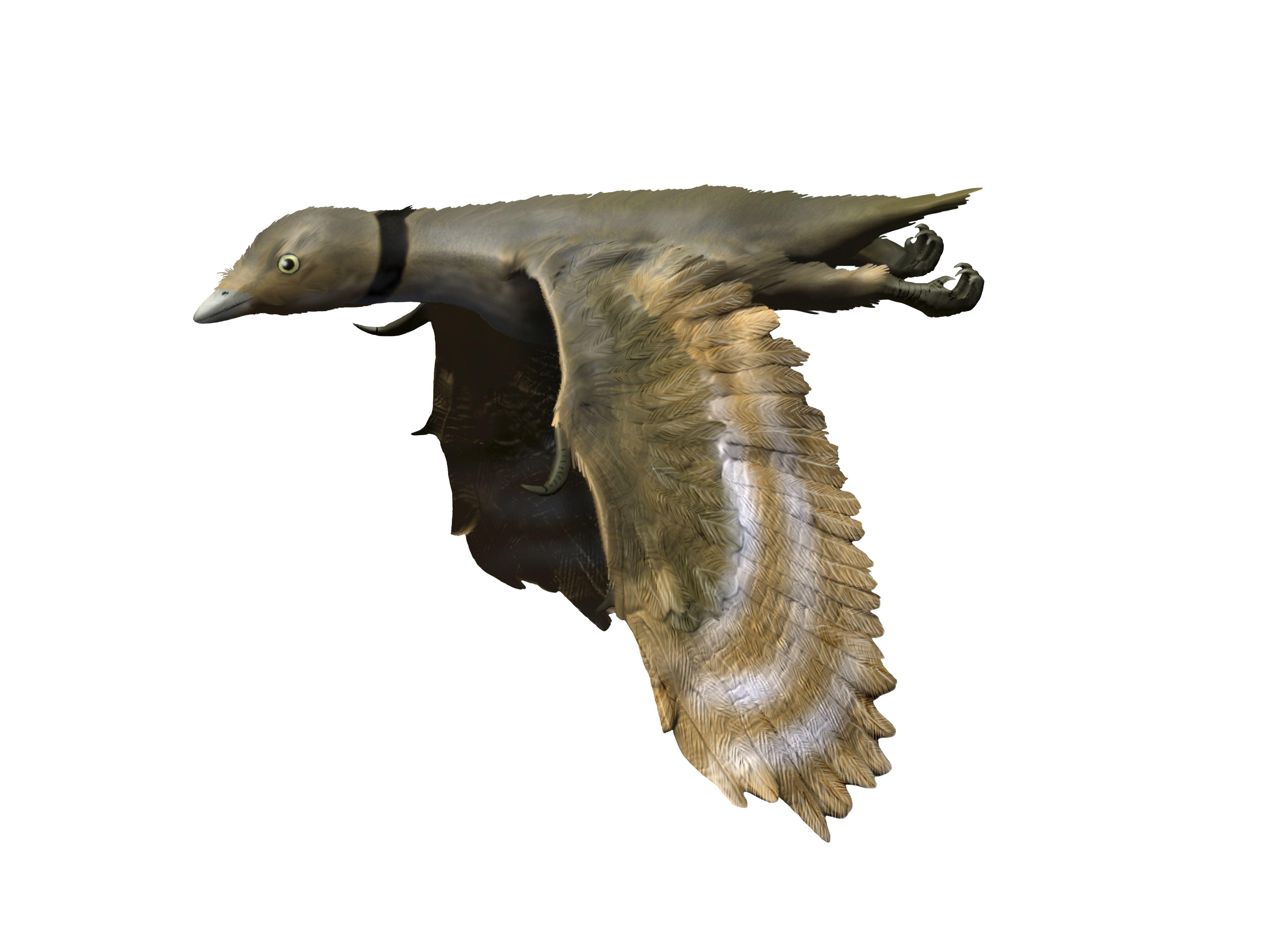 Iberomesornis romerali, Early Cretaceous of Spain.