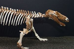 Procynosuchus, a close relative of Thrinaxodon