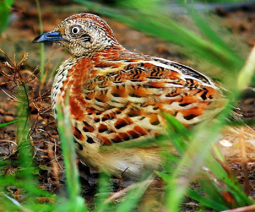 Barred buttonquail in the grass