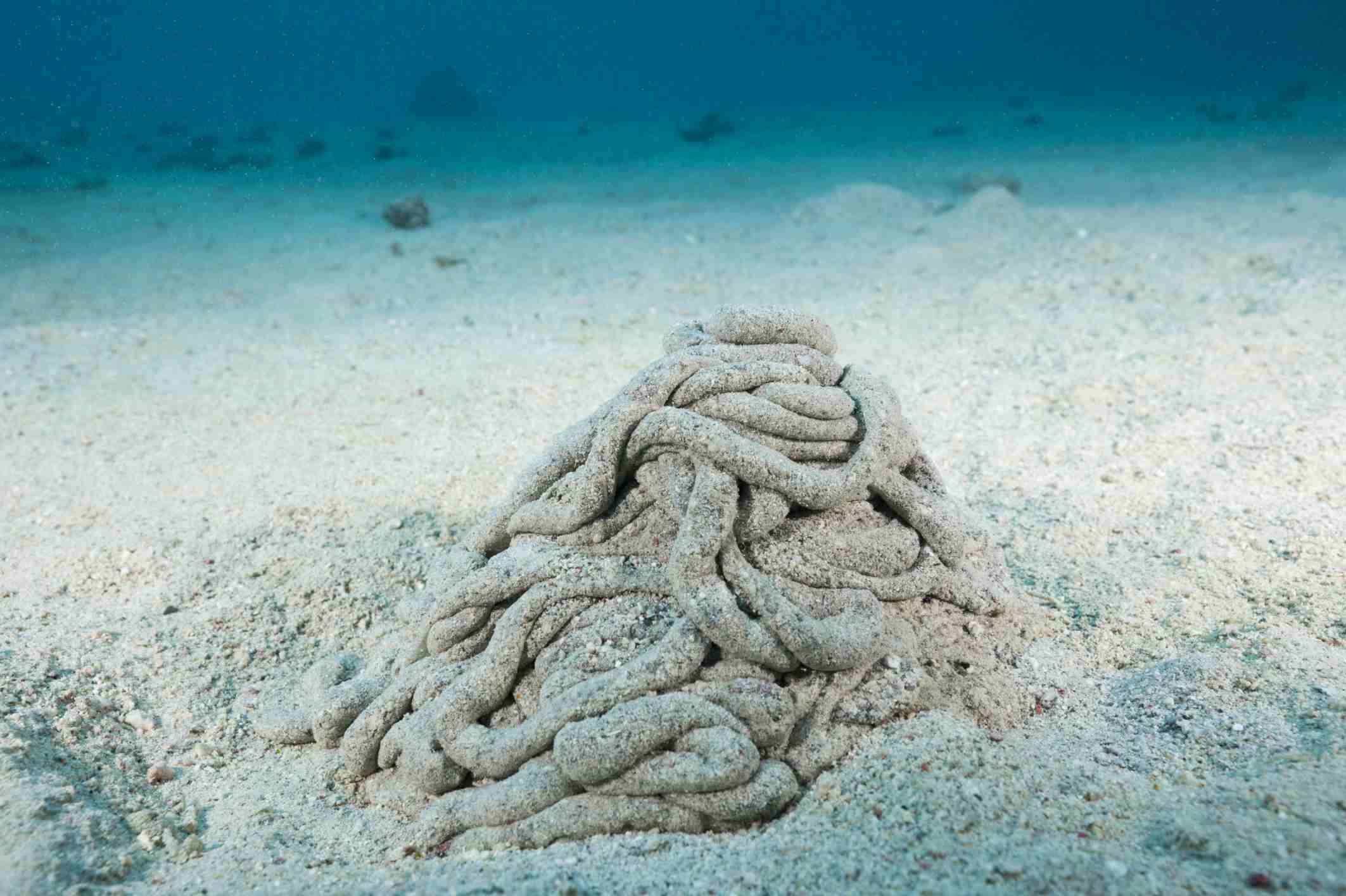Excretions of Sea Cucumber, Marsa Alam, Red Sea, Egypt