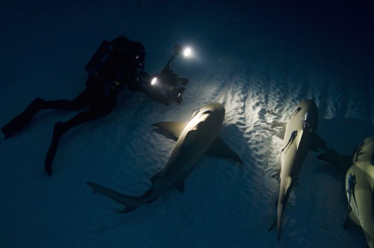 Lemon shark resting on the ocean bottom