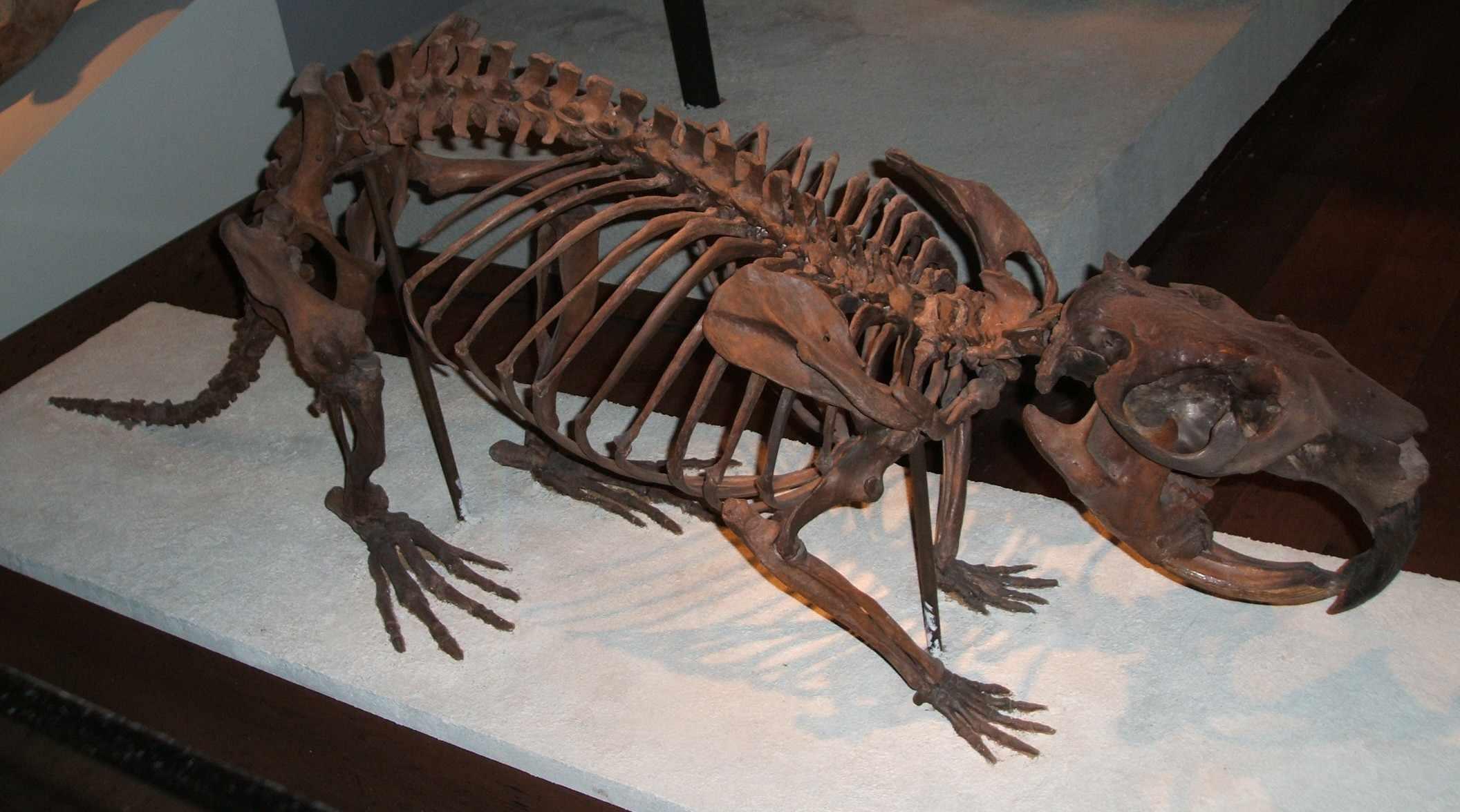 Giant beaver (Castoroides ohioensis) skeleton