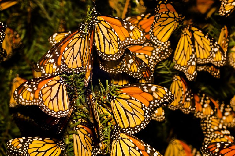 Monarch butterfly (Danaus plexippus) migration