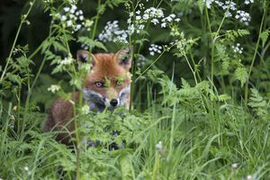 """The Fuchs surname means """"fox,"""" often used to describe someone who had red hair or was foxy."""