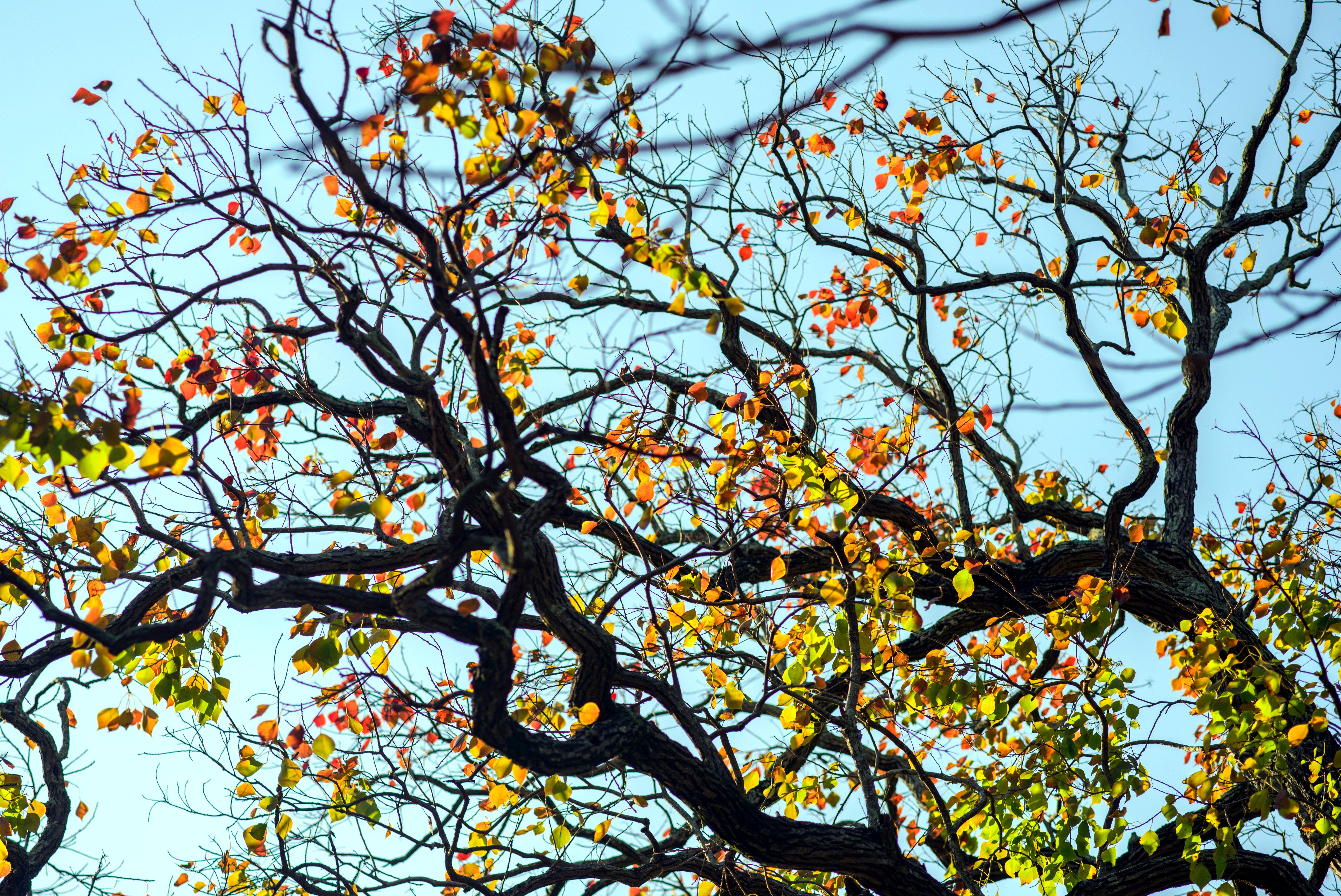 The autumn branches of a Chinese tallow tree with changing red, green, and yellow leaves