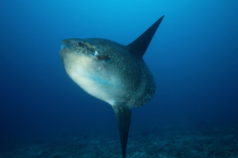 Ocean sunfish in the near of Bali. Relaxing in warm water. Cleaning station.