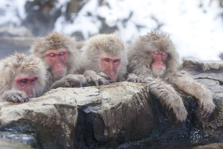 Sleepy Japanese Macaques