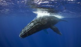 Humpback Whale Pass Adult humpback whale