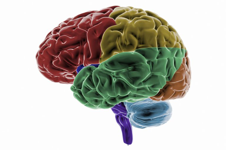 colored regions of the brain