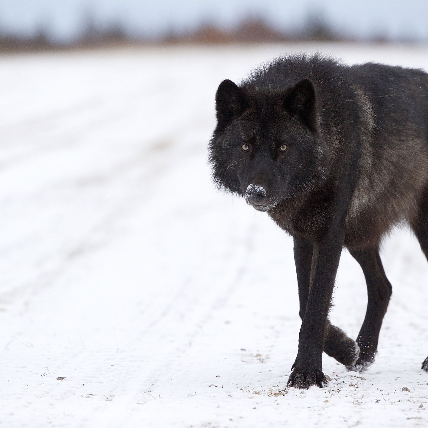the mystery of north america s black wolves the mystery of north america s black wolves